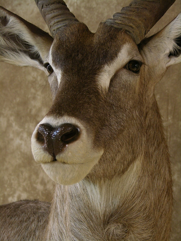 Aspen_waterbuck_3.jpeg