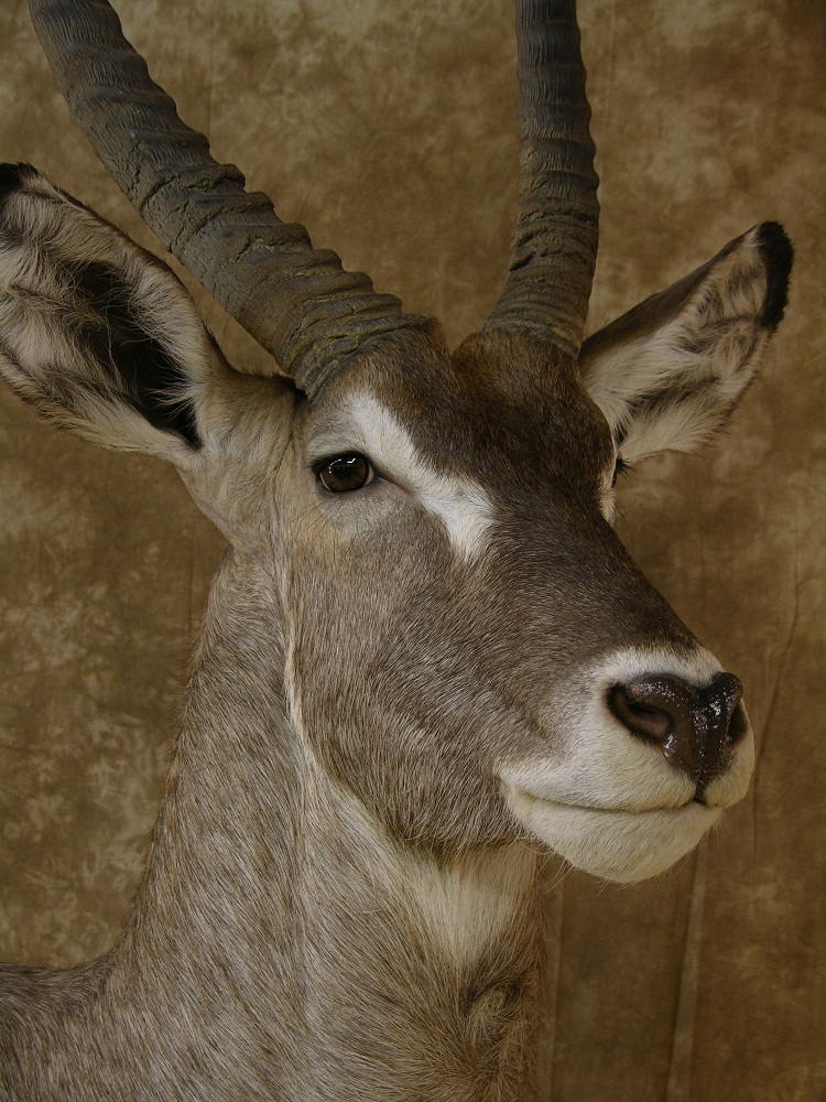 Aspen_waterbuck_4.jpeg