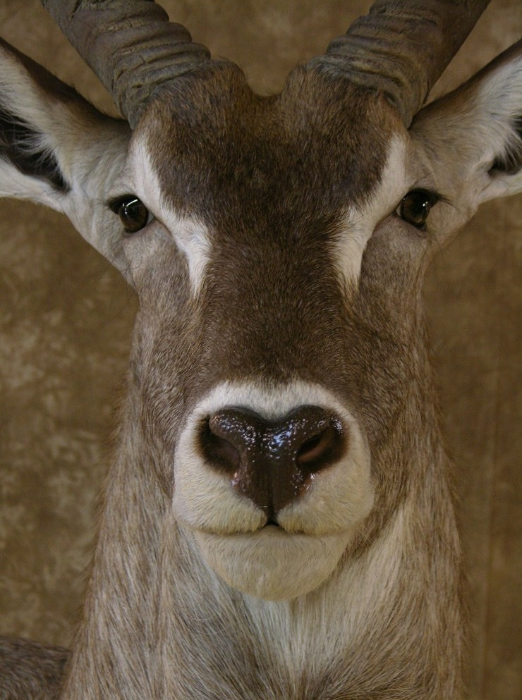 Aspen_waterbuck_5.jpeg