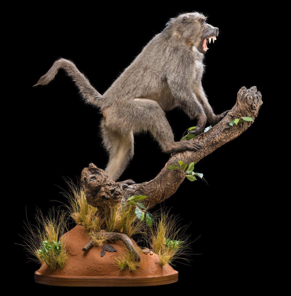Baboon Fullmount - HH 169.jpg