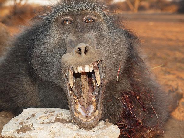 baboon1.jpg