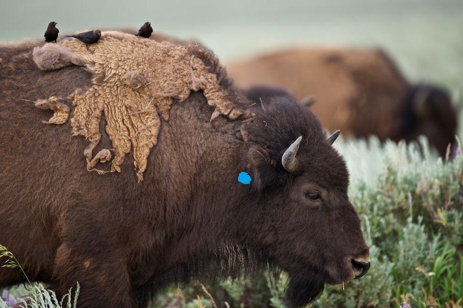 Bison Targeting.jpg