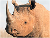 black-rhino-fws-richard-ruggiero.jpg