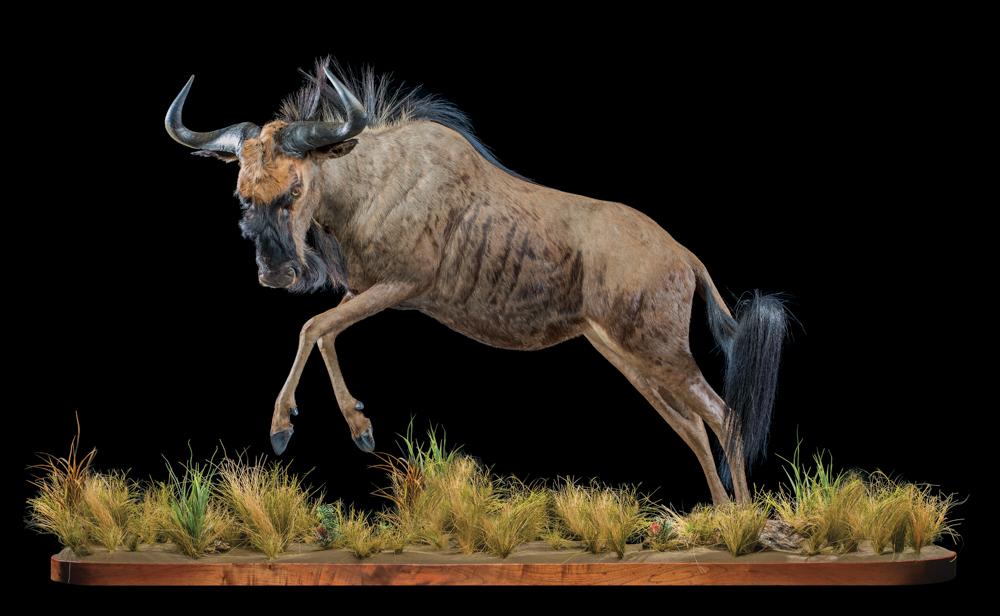 Black-Wildebeest-fullmount-FF001.JPG