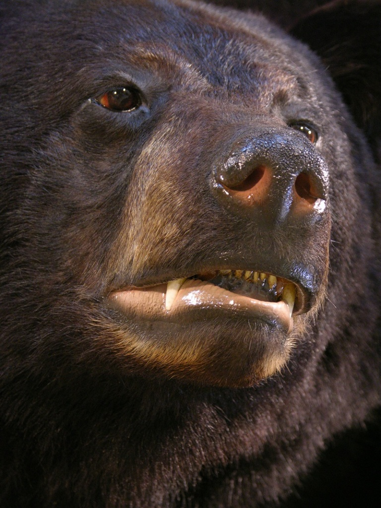 Black_bear_taxidermy_1.jpg