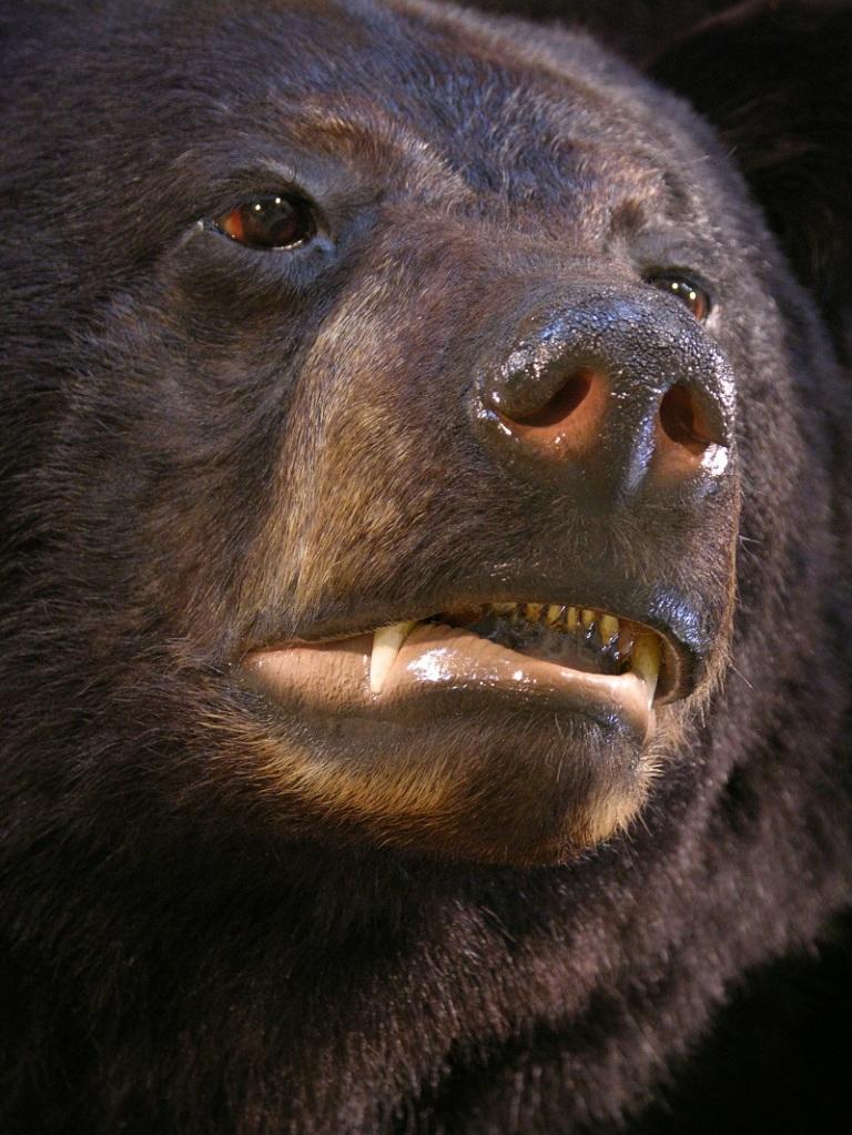 Black_bear_taxidermy_1.jpg
