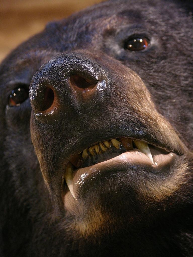 Black_bear_taxidermy_2.jpg