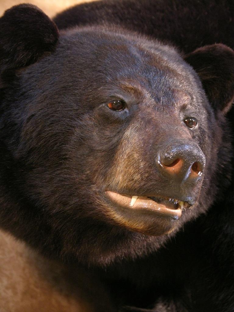 Black_bear_taxidermy_3.jpg