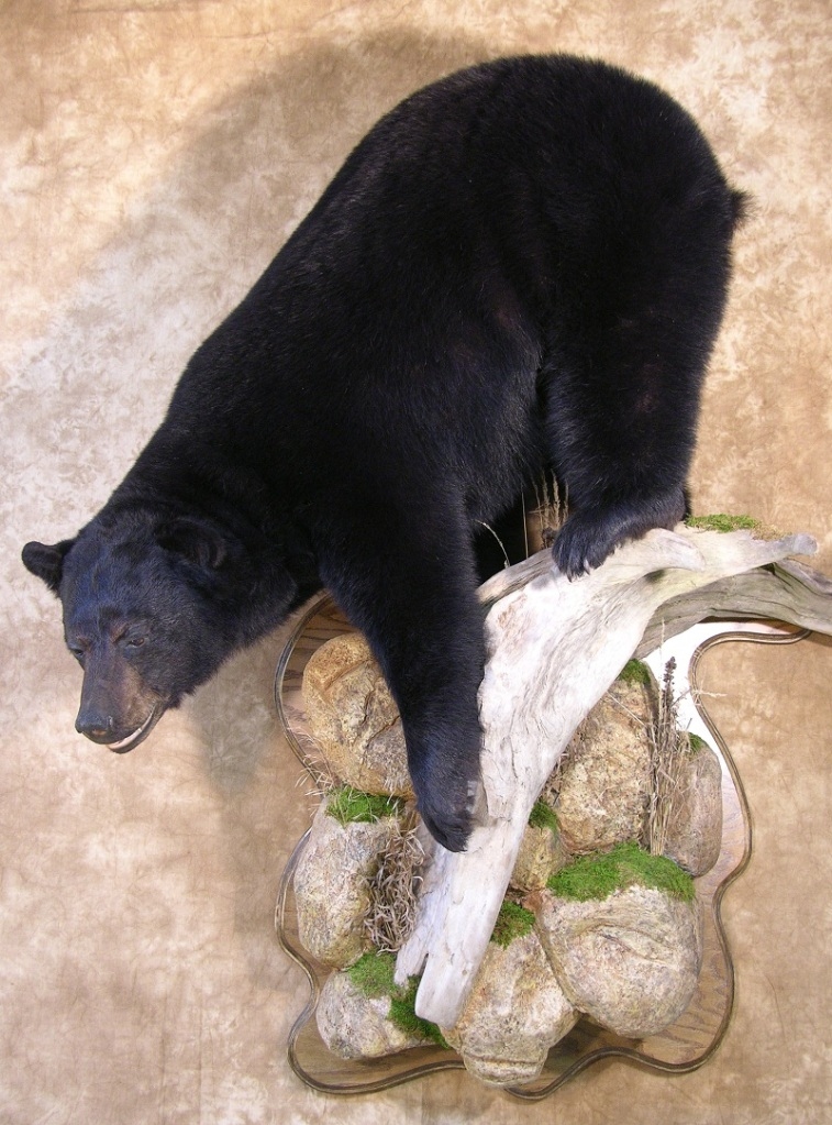 Taxidermy Not Africa But Bear Season Is Upon Us Hunting