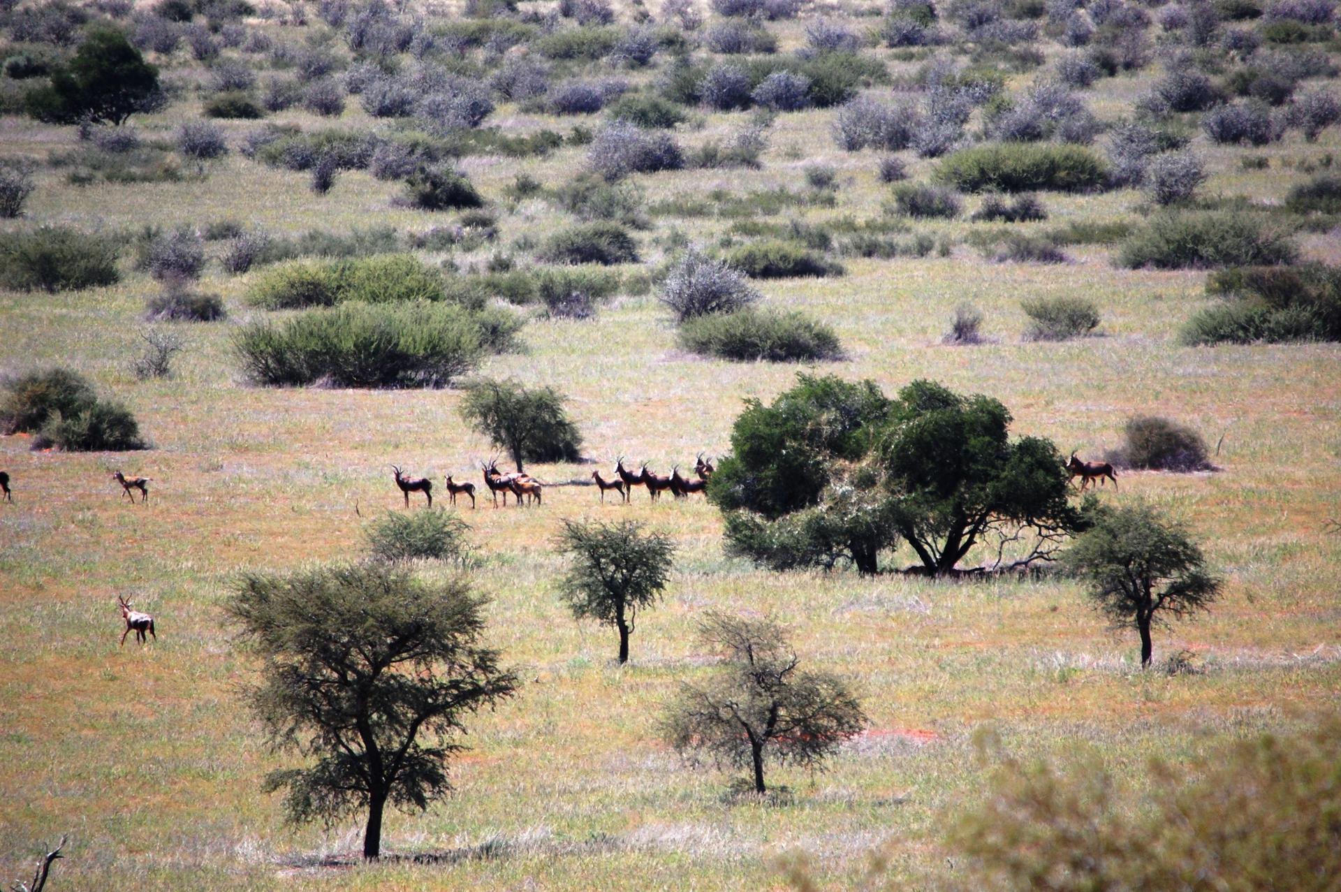 Blesbok herd.jpg