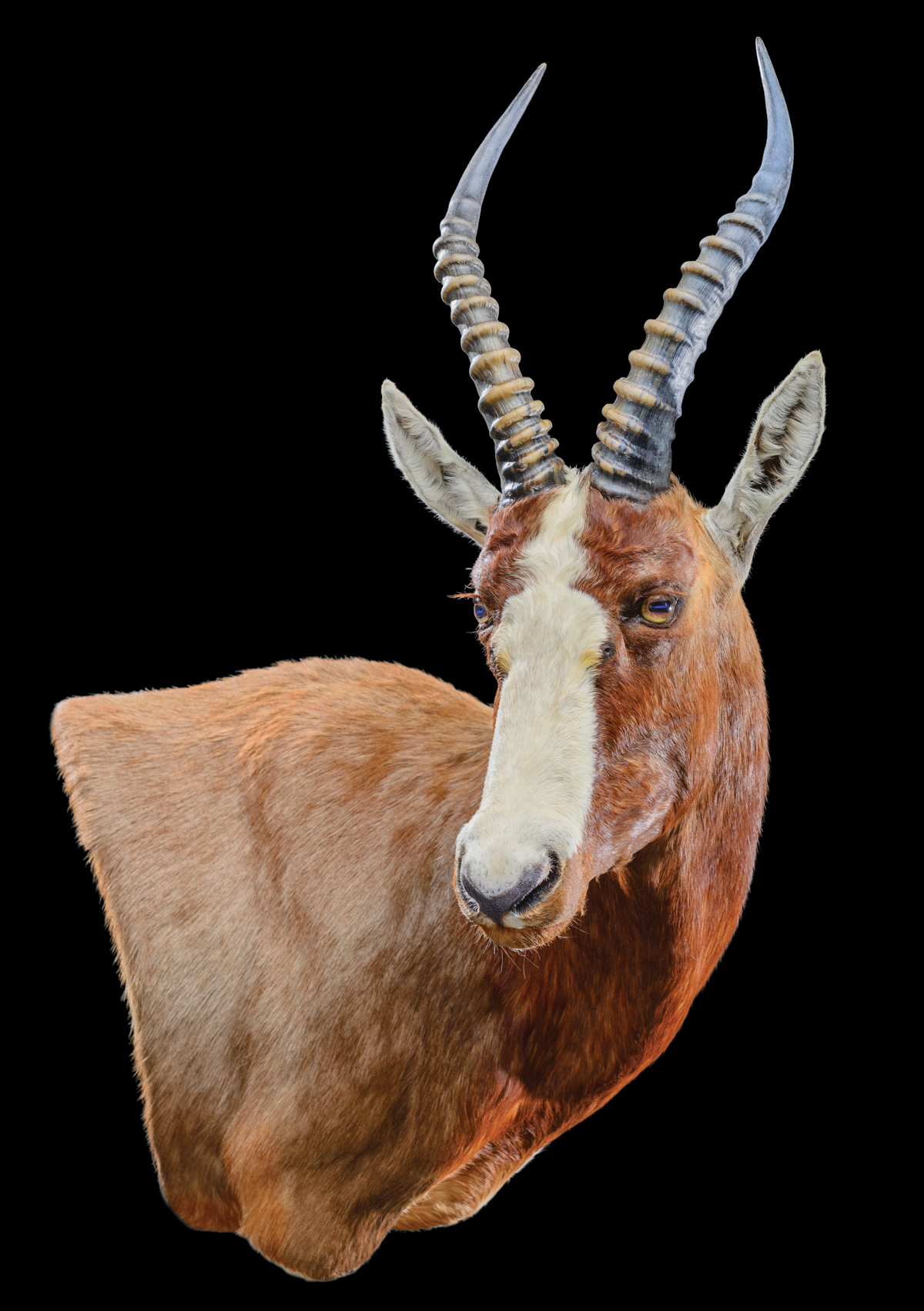 Blesbok-Wall-Pedestal-mount-110°RIGHT-dd-263.jpg