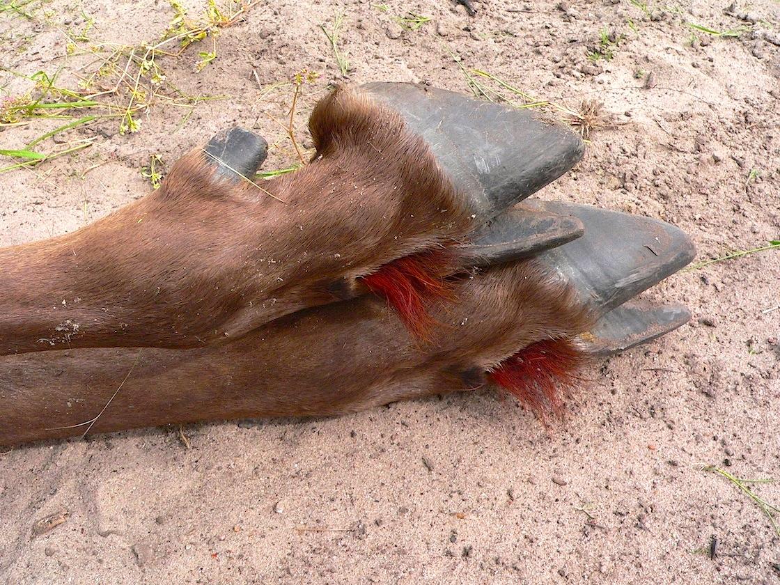 blue wildebeest feet.JPG