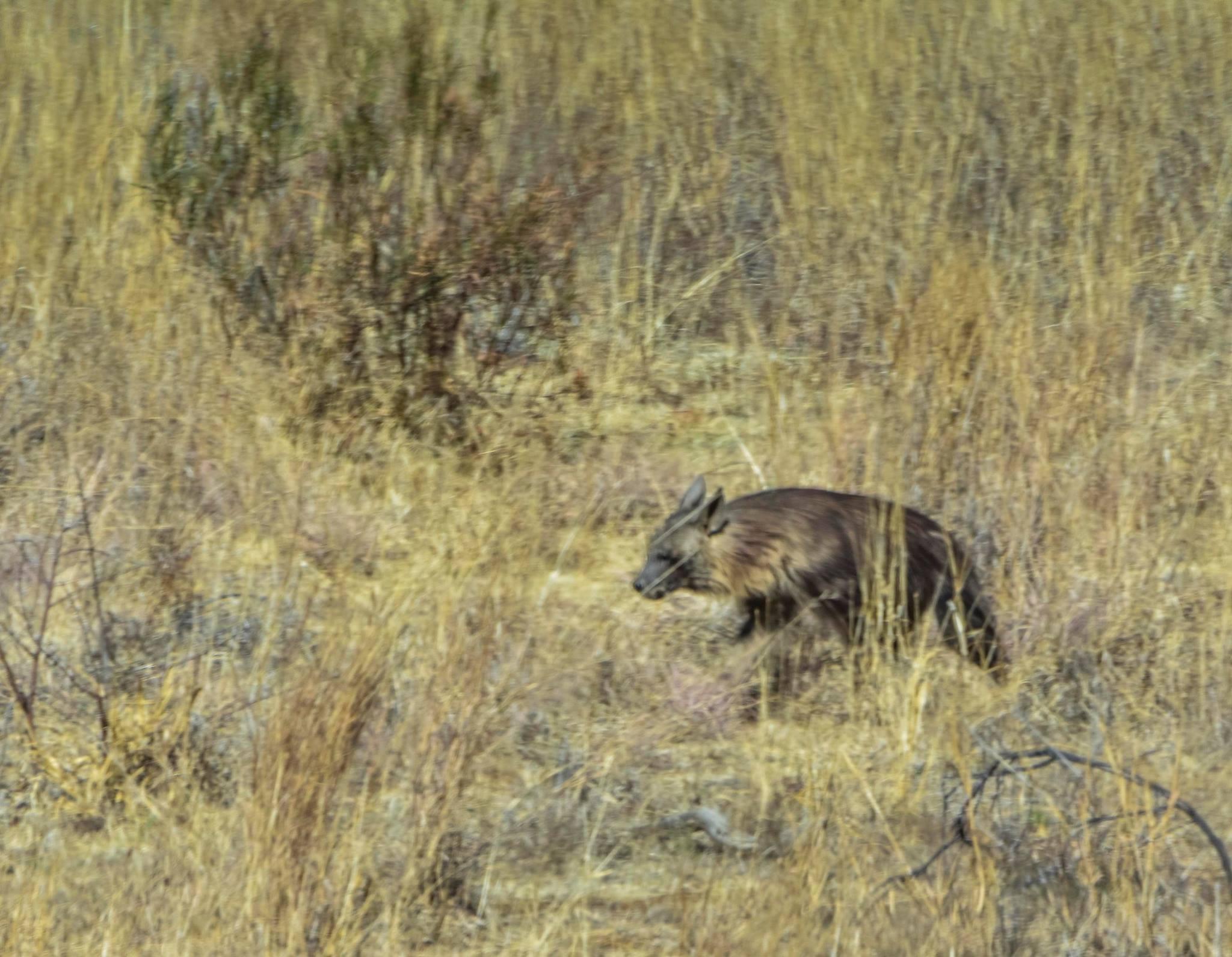 Brown Hyena.jpg