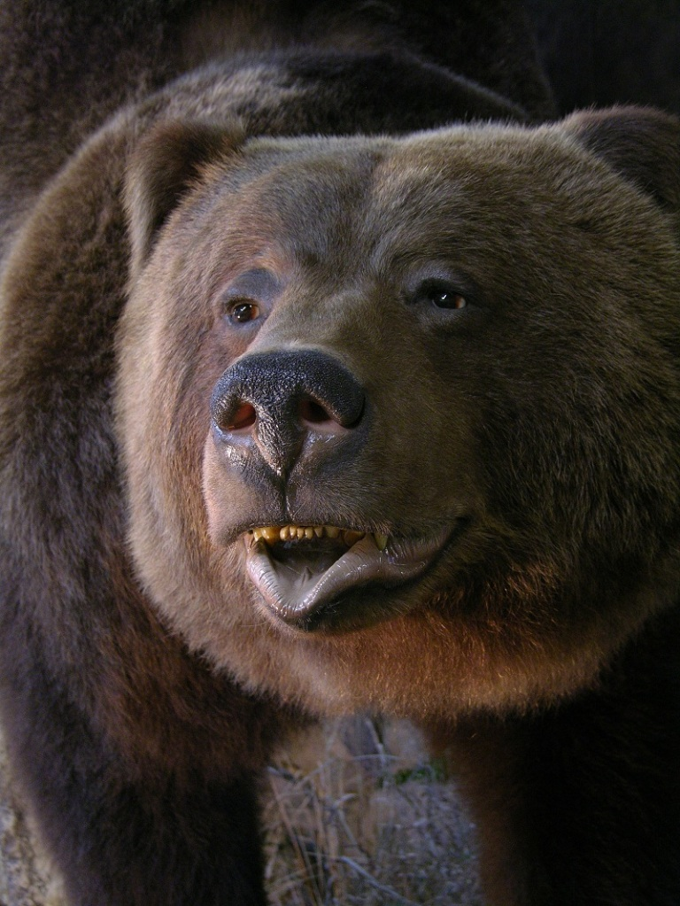 Brown_bear_taxidermy_1.jpg