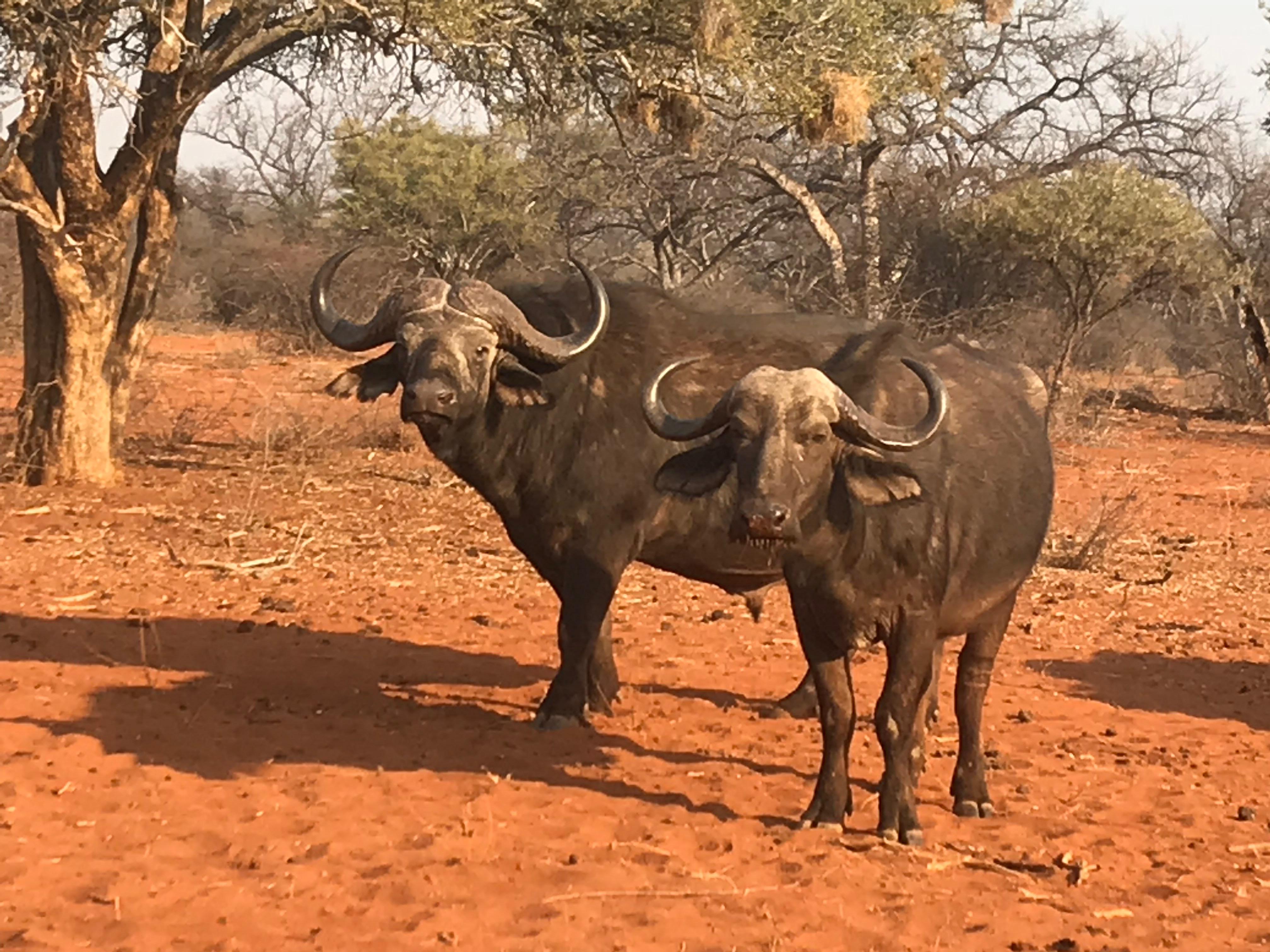 buff cow and bull.jpeg