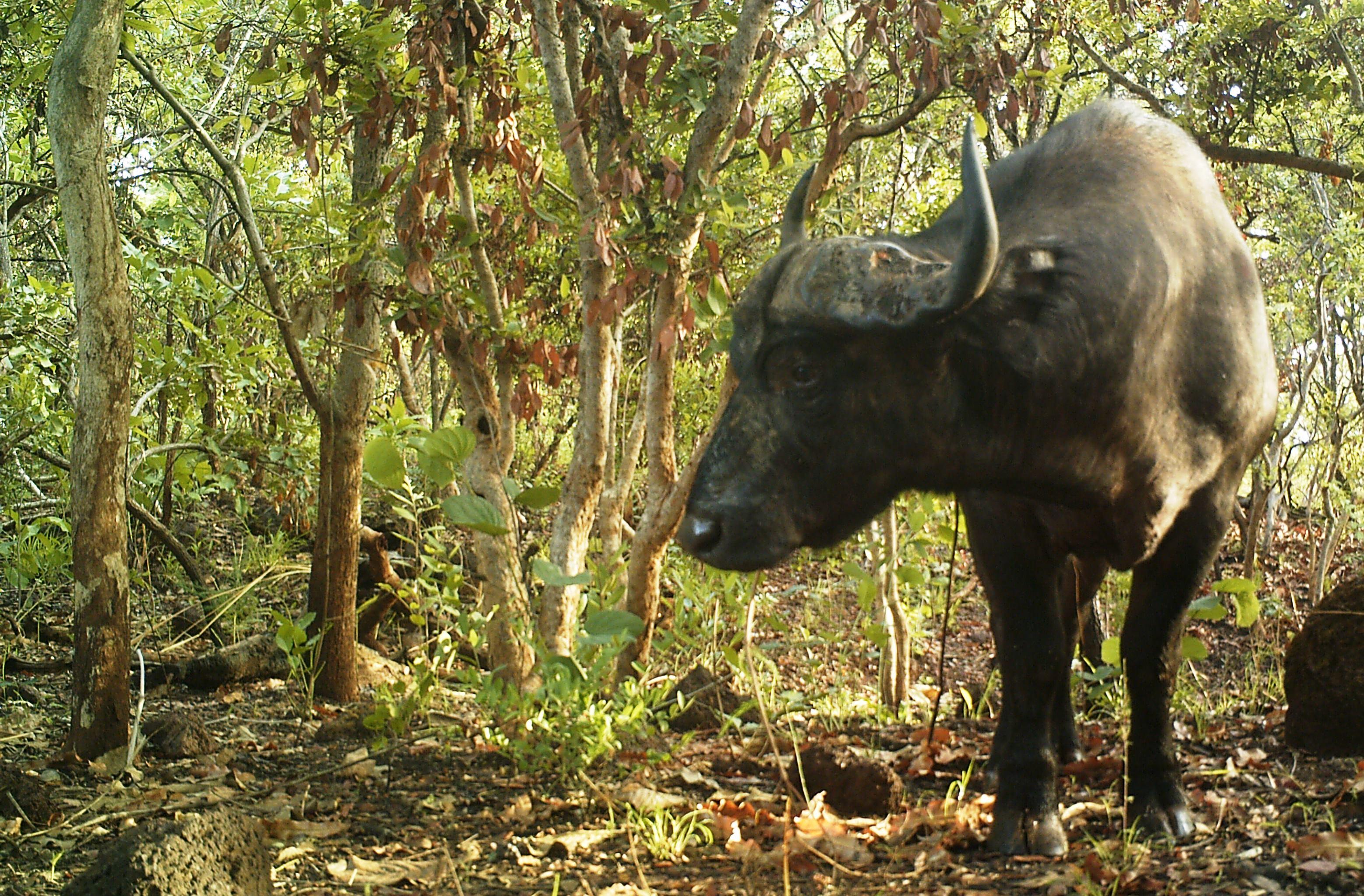 buffalo (2).JPG