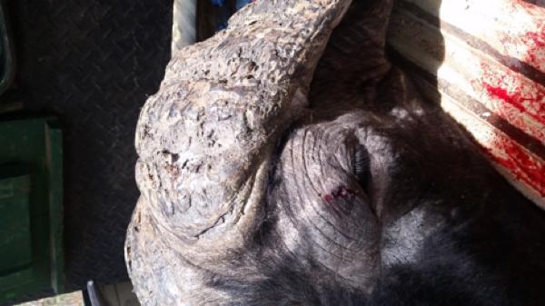 buffalo-hunt-1.jpg