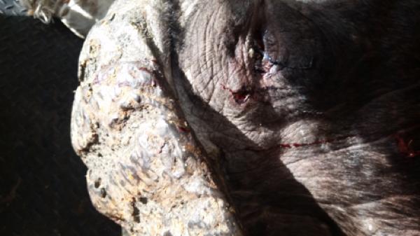 buffalo-hunt-3.jpg