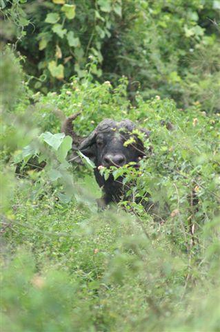 buffalo6.jpg