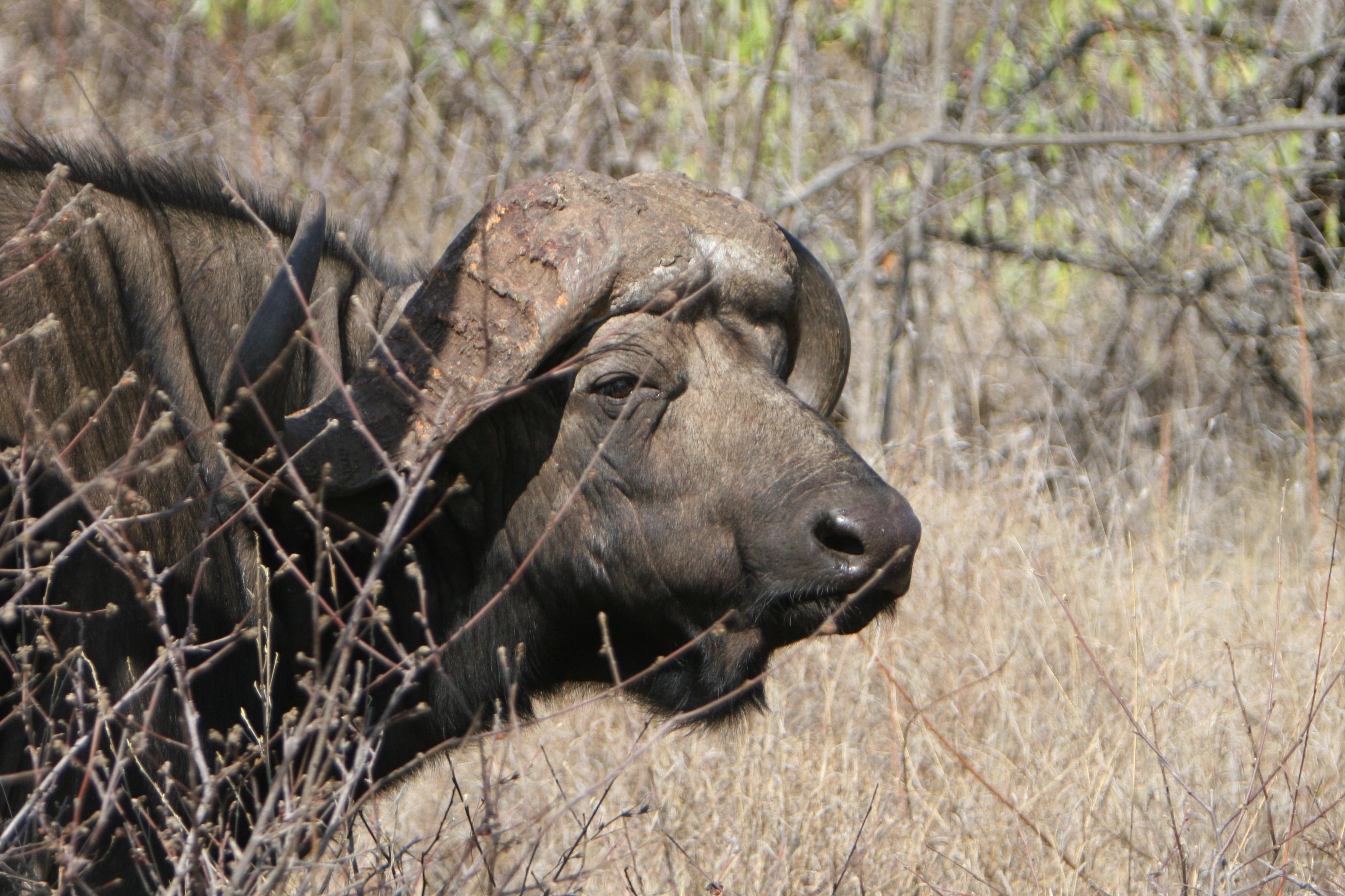 buffel.jpg