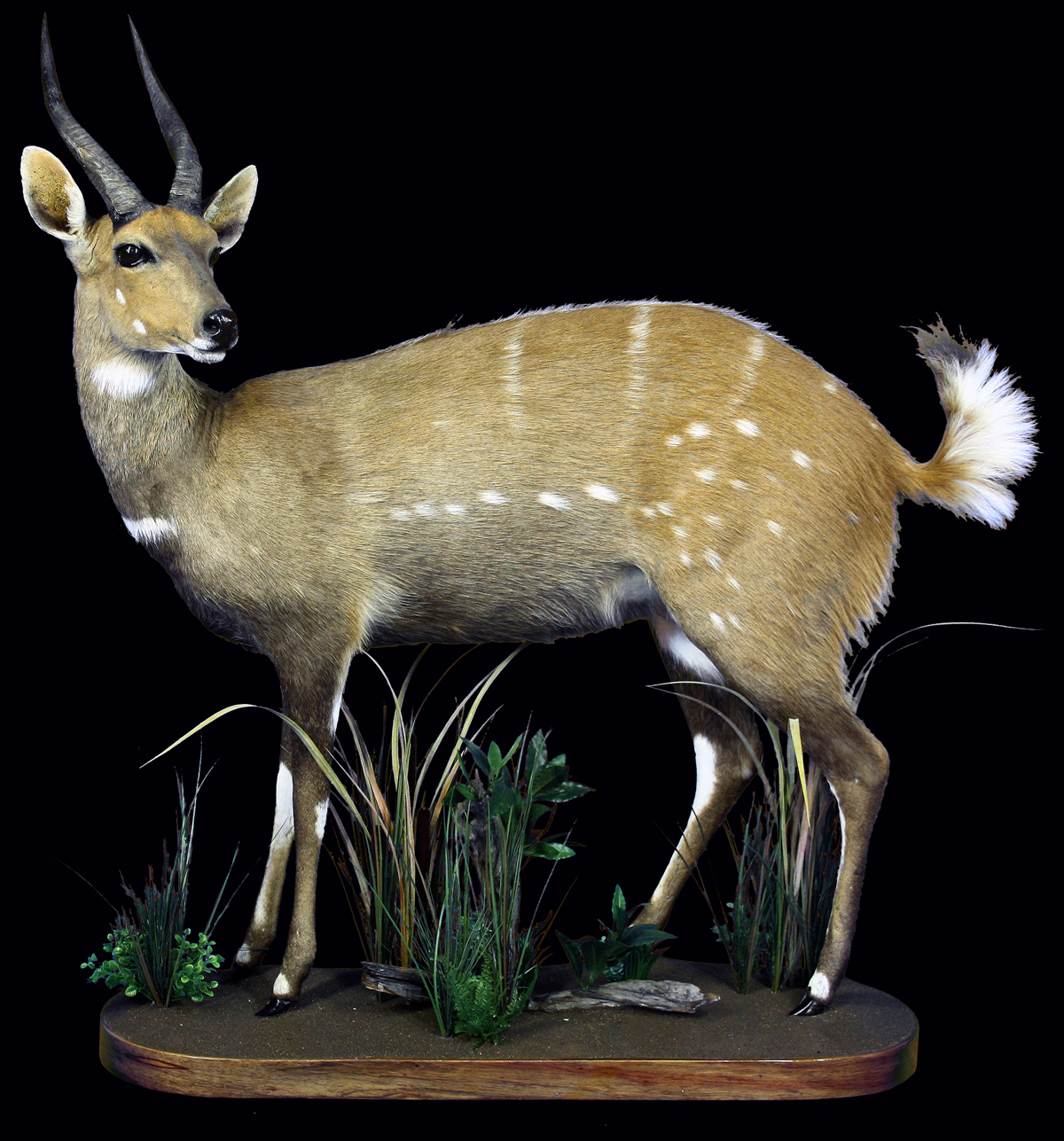 Bushbuck-Full-mount-aa036-copy.JPG
