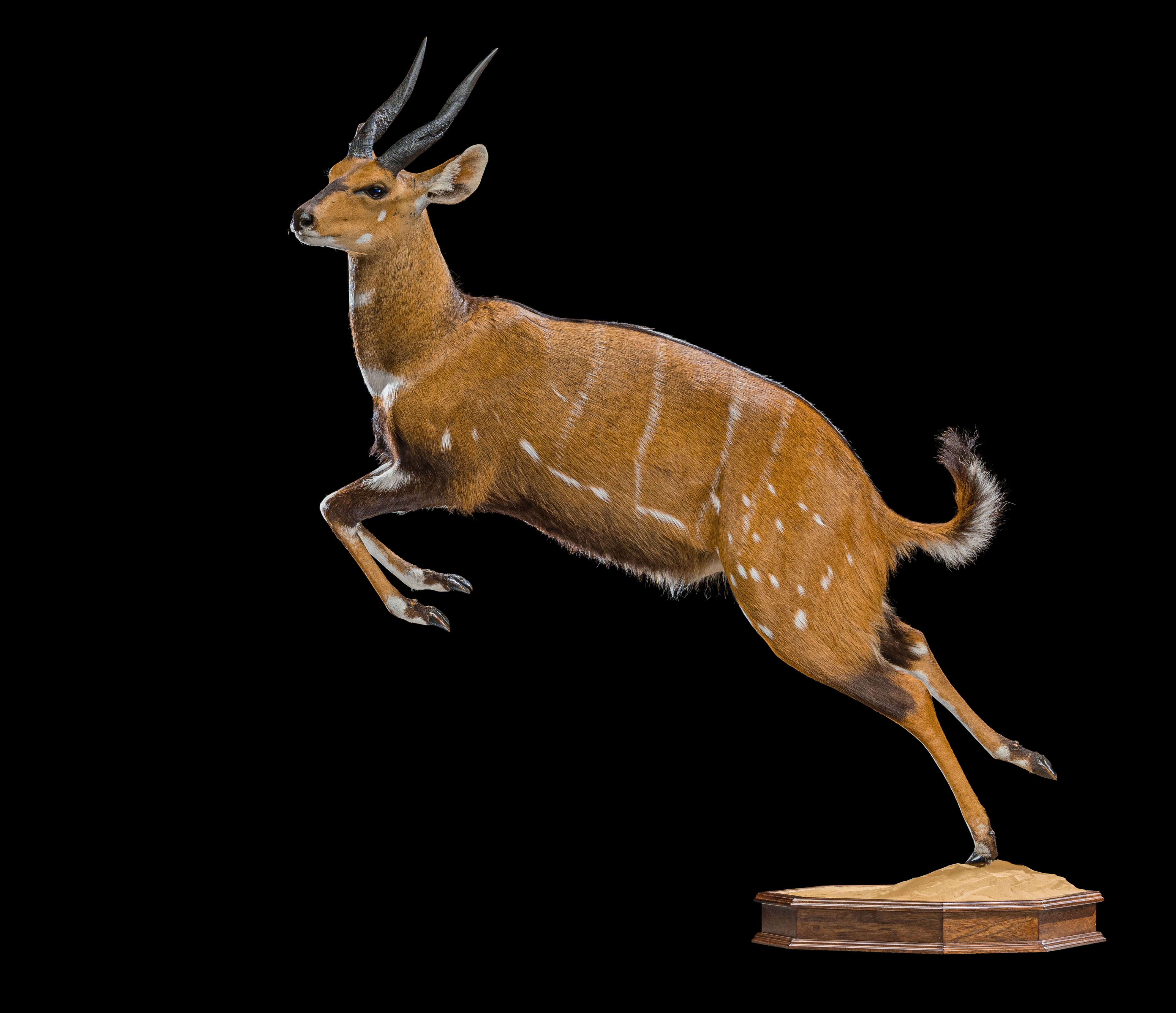 Bushbuck Fullmount - II0029.jpg