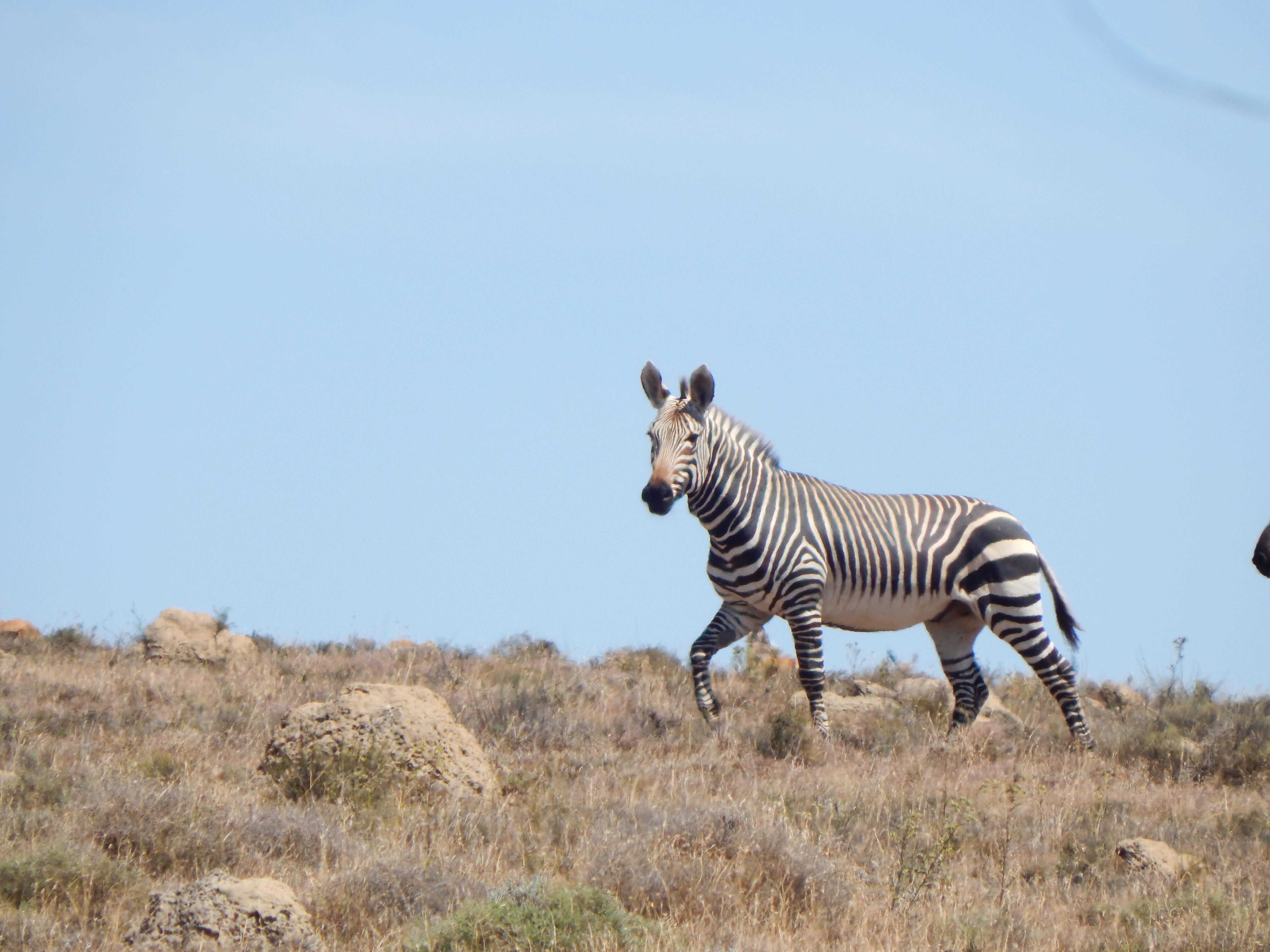 Cape Mountain Zebra.JPG