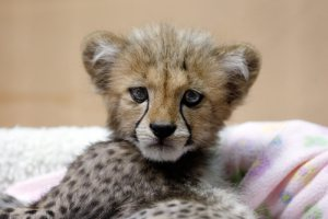 cheetah-cub.jpg