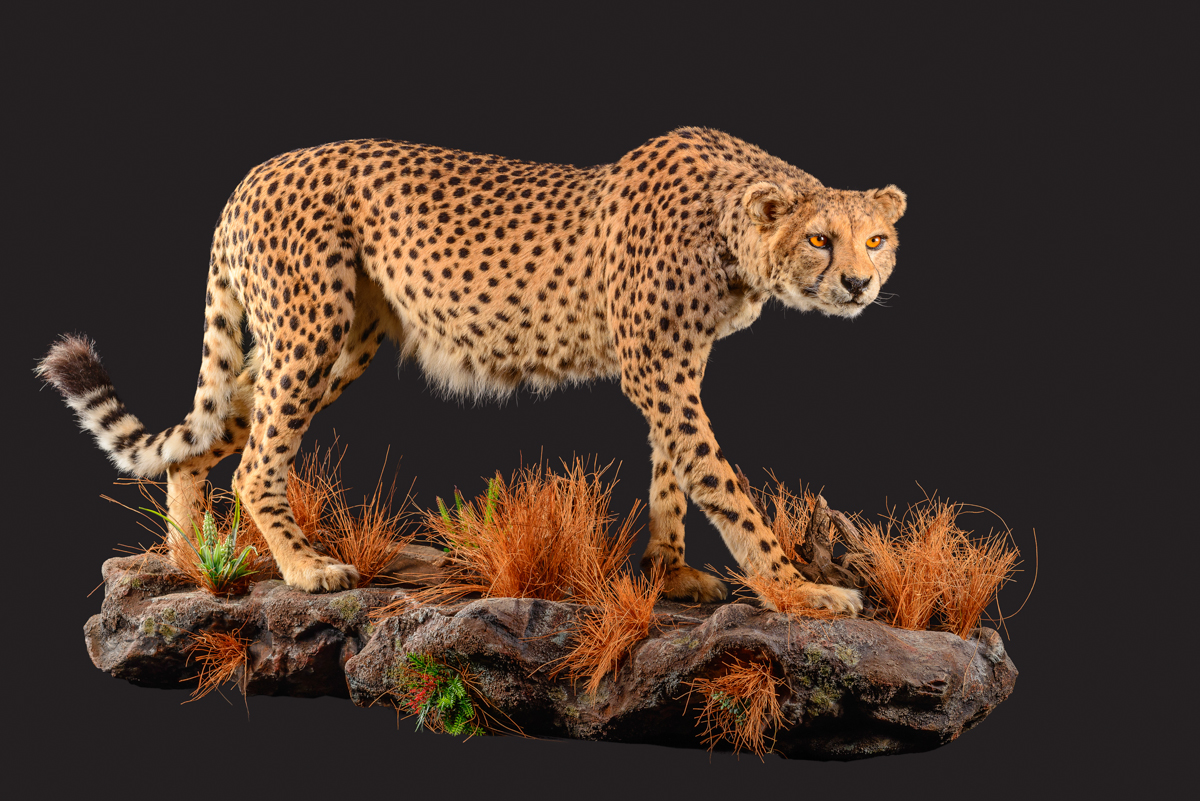 Cheetah-full-mount-dd-166.jpg
