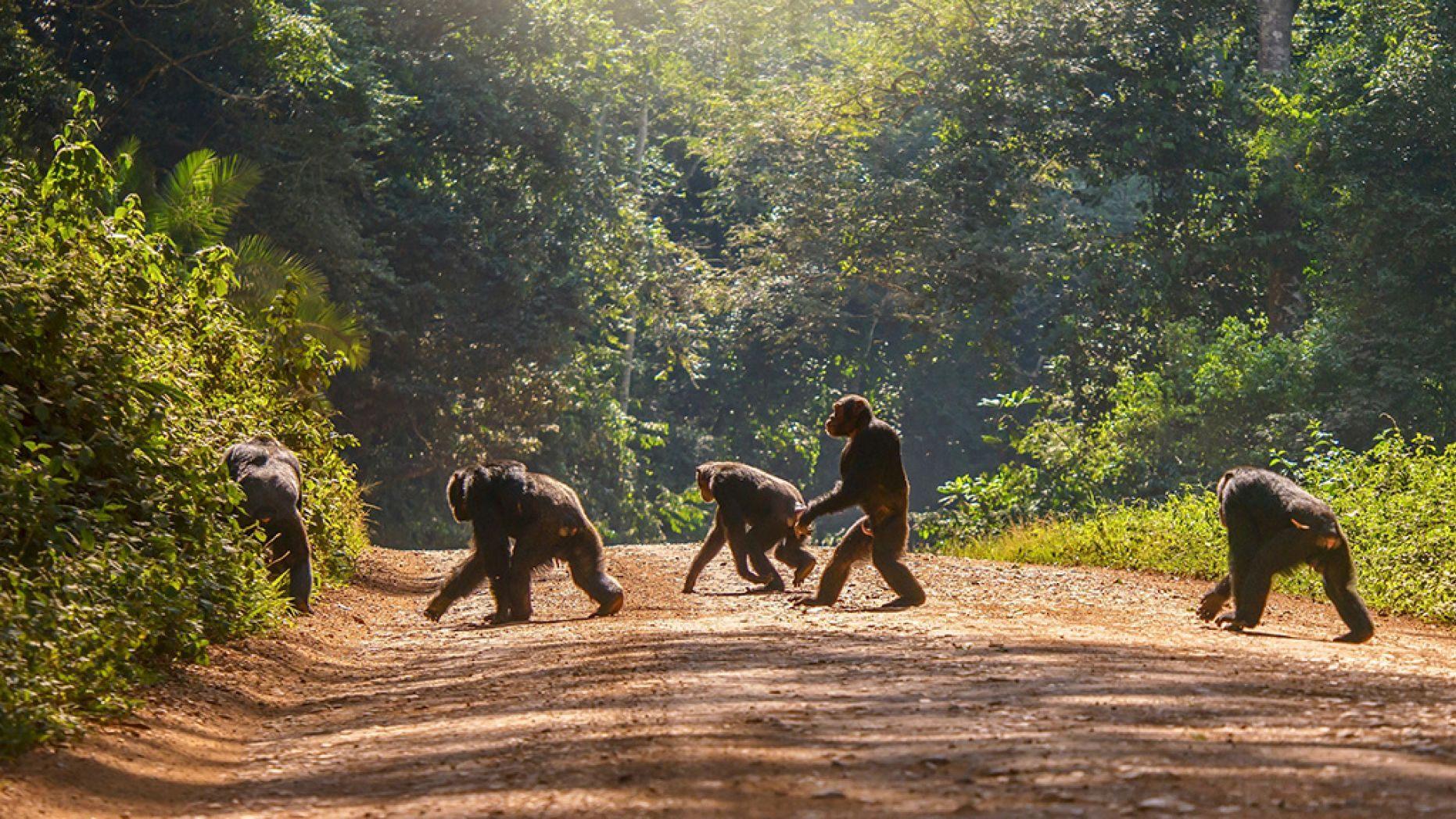 chimp-2-iStock.jpg