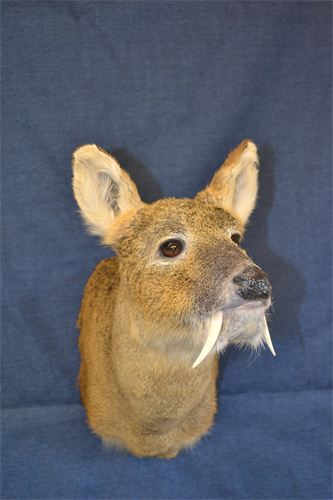 Chinese Water Deer.jpg