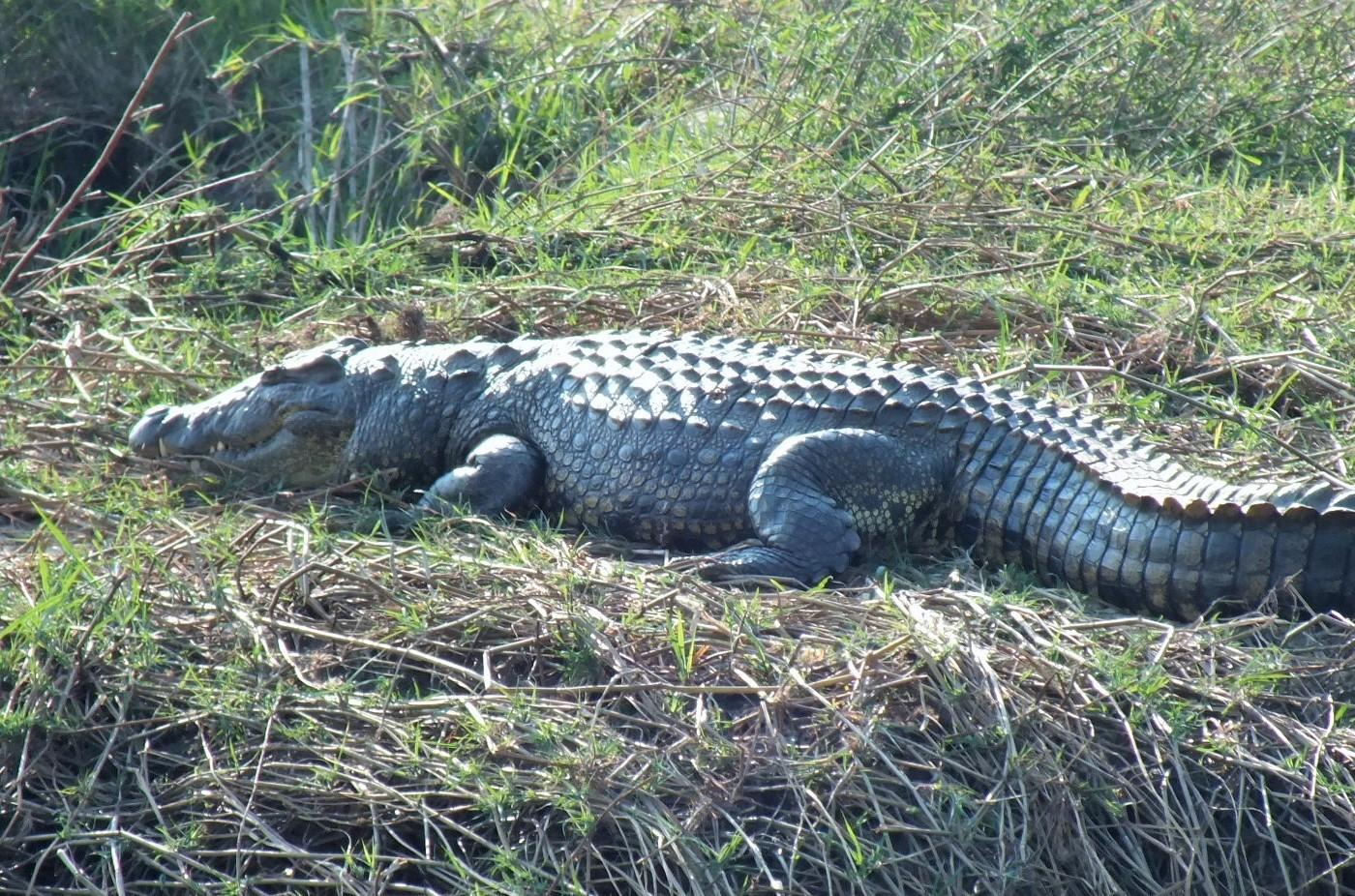 Chobe croc 2.JPG