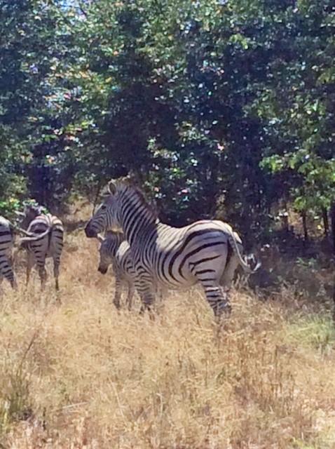 chobe zebra 2.JPG