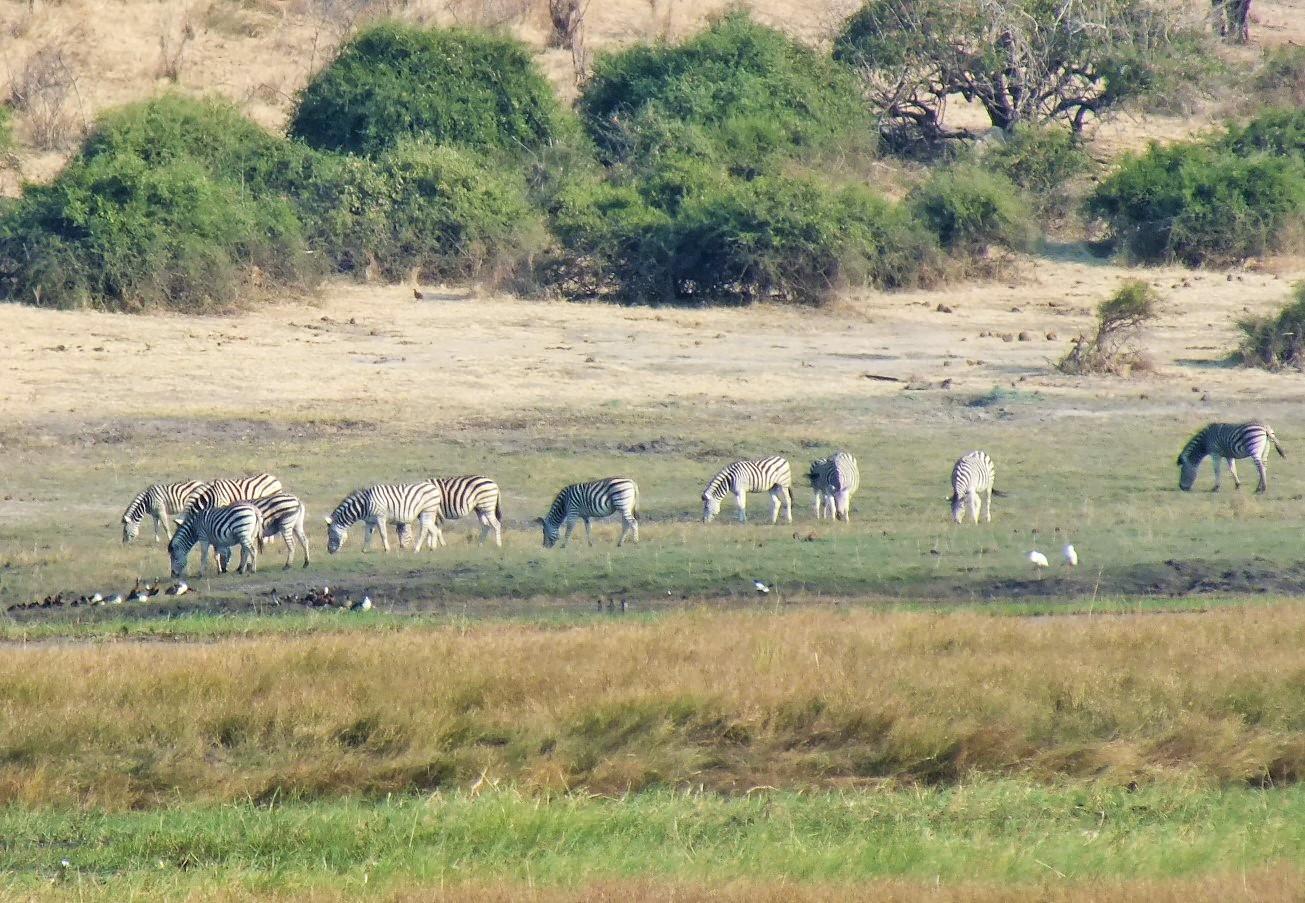 Chobe zebras.JPG