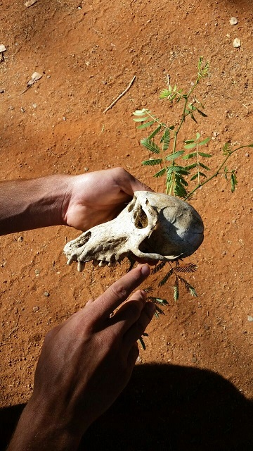 conservation baboon skull.jpg