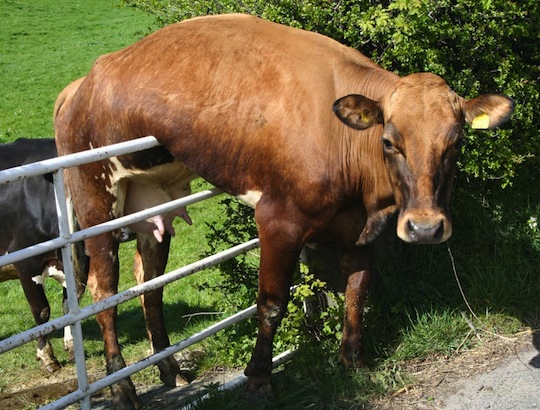 cow-fence-sitting.jpg