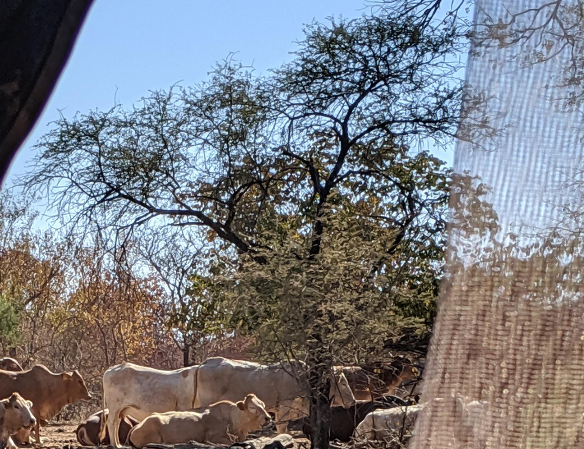 cow herd.jpg