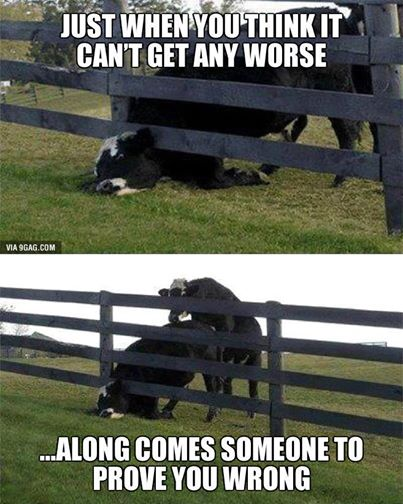 COWS bad day.jpg