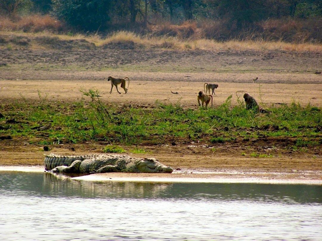 Croc and baboons Luangwa Zambia .jpg