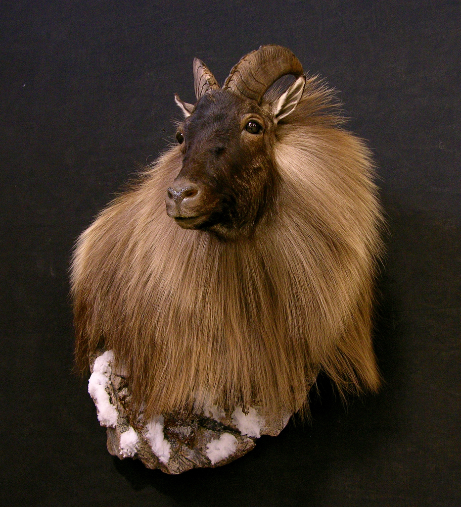 New Zealand Tahr Wall Pedestal Taxidermy Mount With