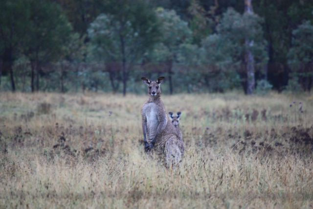 Eastern Grey Kangaroo.jpg