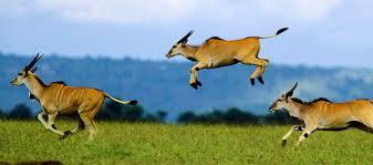 eland jumping.jpg