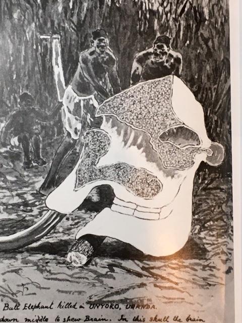 eleohant skull sectioned.JPG