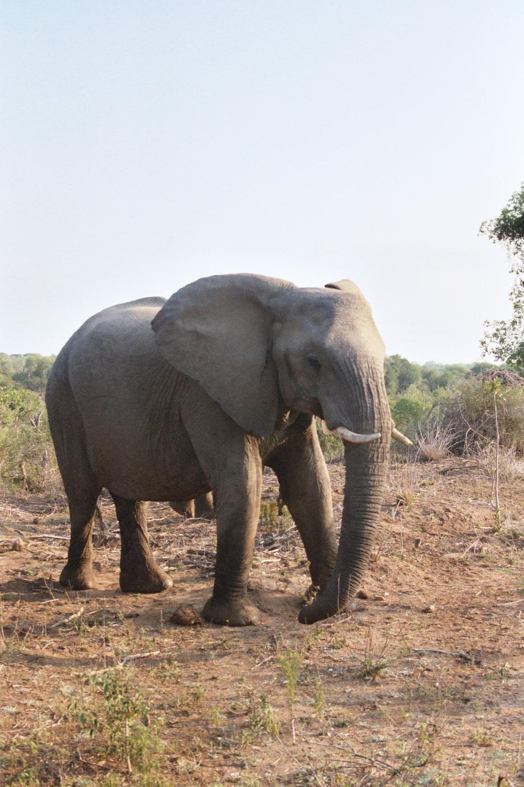 Elephant 009_7A (2).JPG