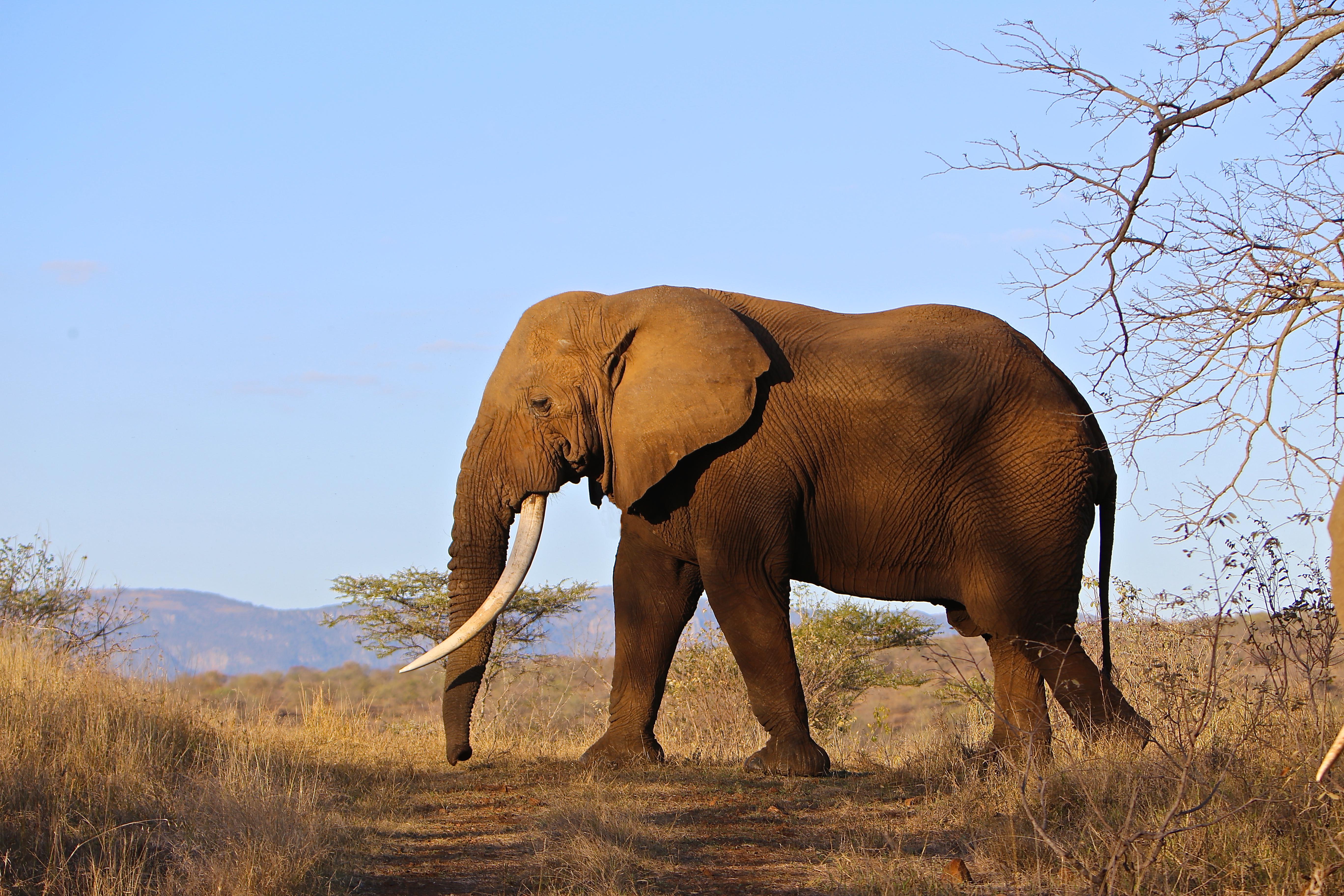 ELEPHANT BULL PROFILE .jpg