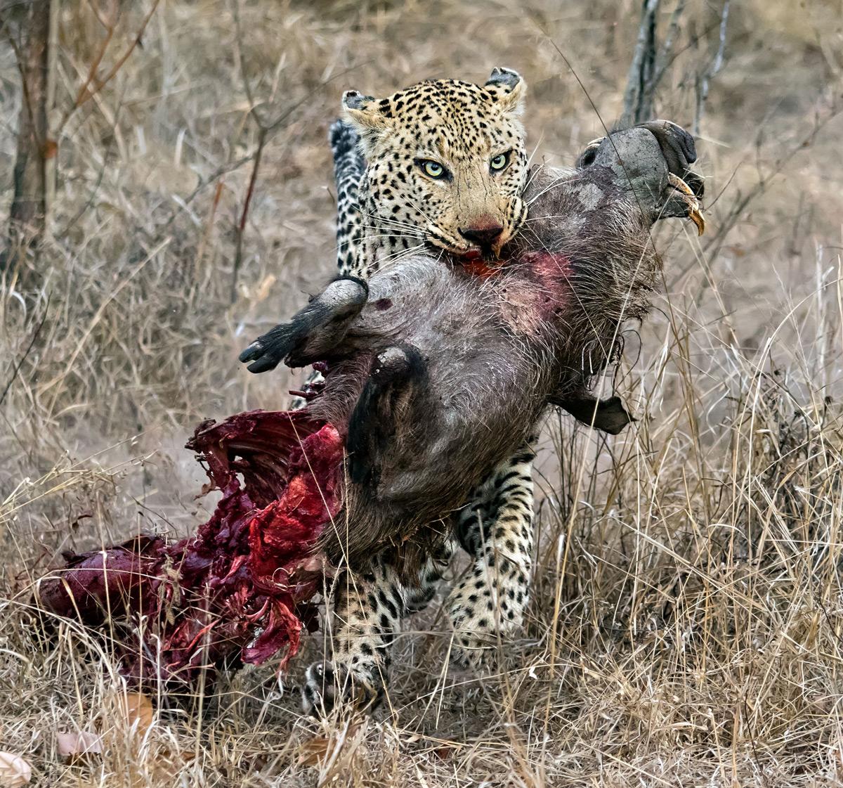 Ernest-Porter-male-leopard-with-warthog-Kruger-2.jpg