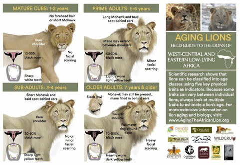 field-guide-to-aging-lions-lowlands_2.jpg