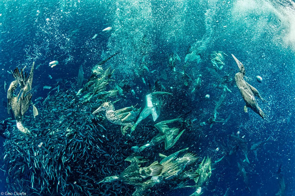 Geo-Cloete-Cape-gannets-gannet-attacking-a-sardine-bait-ball-Port-StJohns-1.jpg