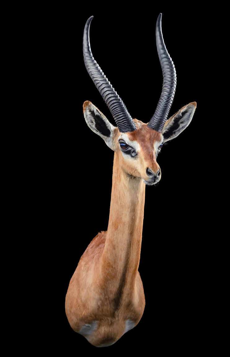 Gerenuk Shouldermount STR - GG316.jpg
