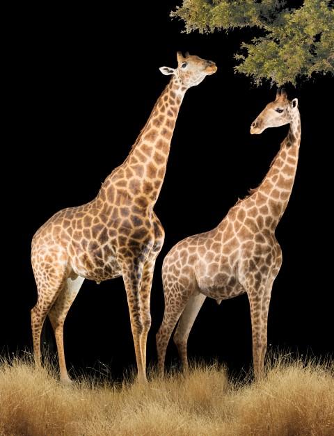 Giraffe-Fullmounts-FF154.jpg